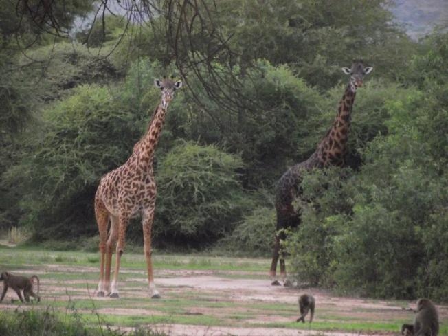 giraffe_safari_africa